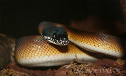 White lipped python natural history and captive care